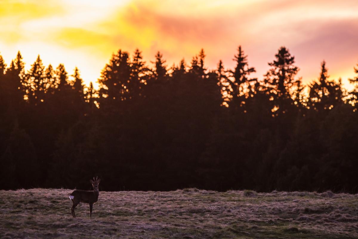 Capriolo al tramonto