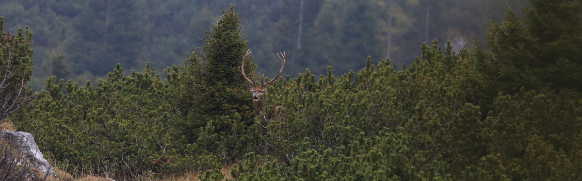 Cervo tra i pini mughi