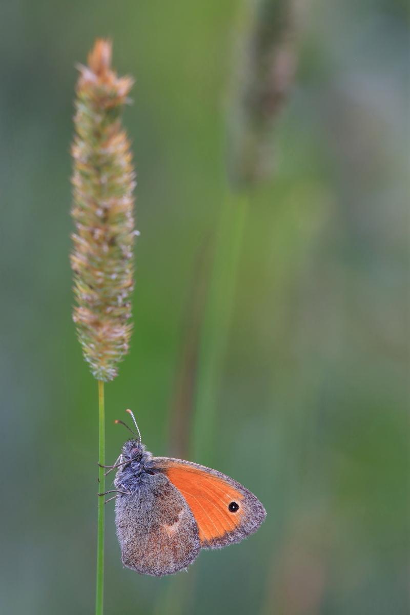 Coenonympha pamphilus - ninfa minore