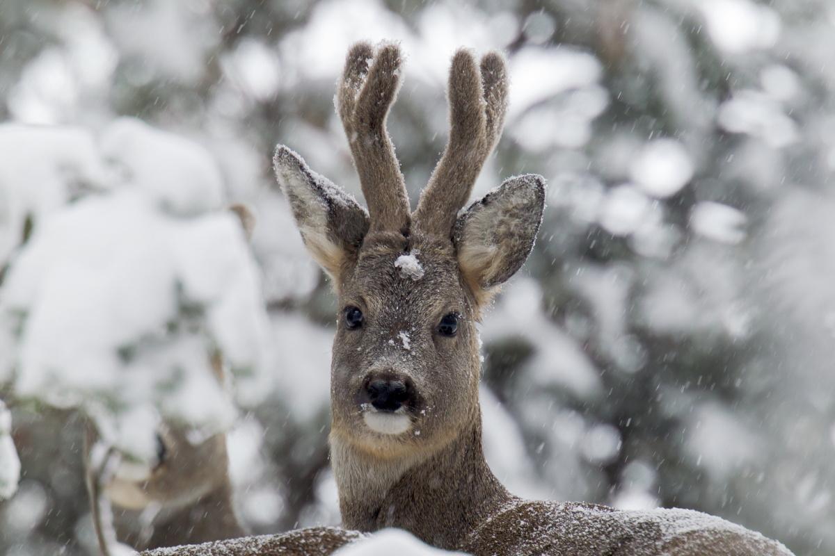 Lo sguardo del maschio di capriolo nella neve