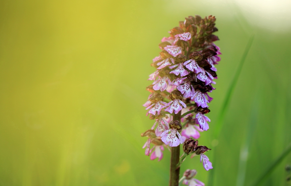 Orchidea olivi
