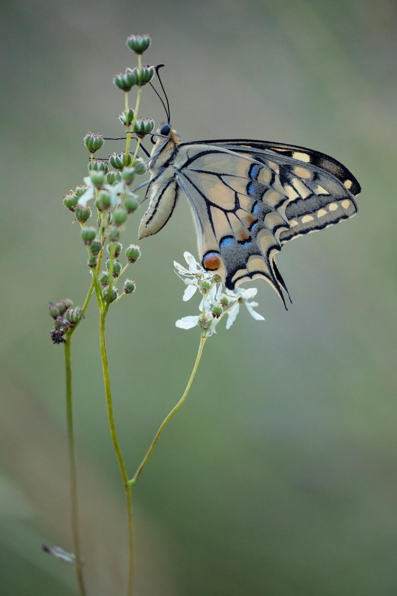 Papilio machaon - macaone