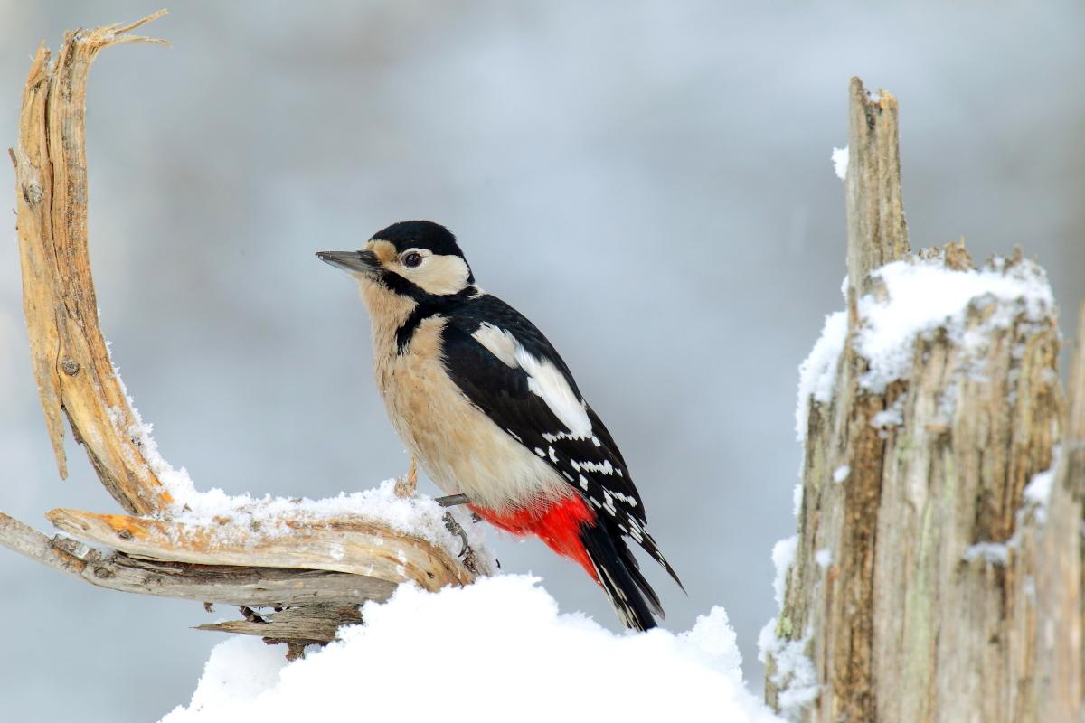 Picchio rosso maggiore sulla neve