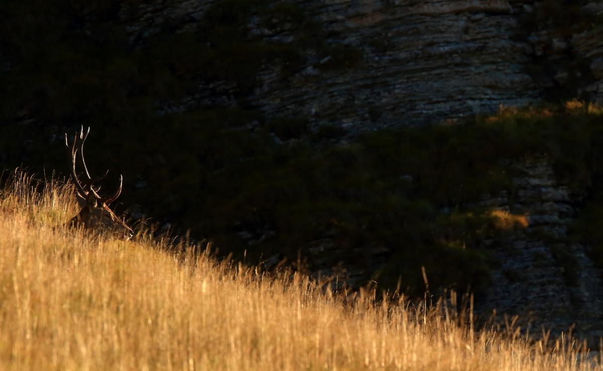 cervo nell'erba alta