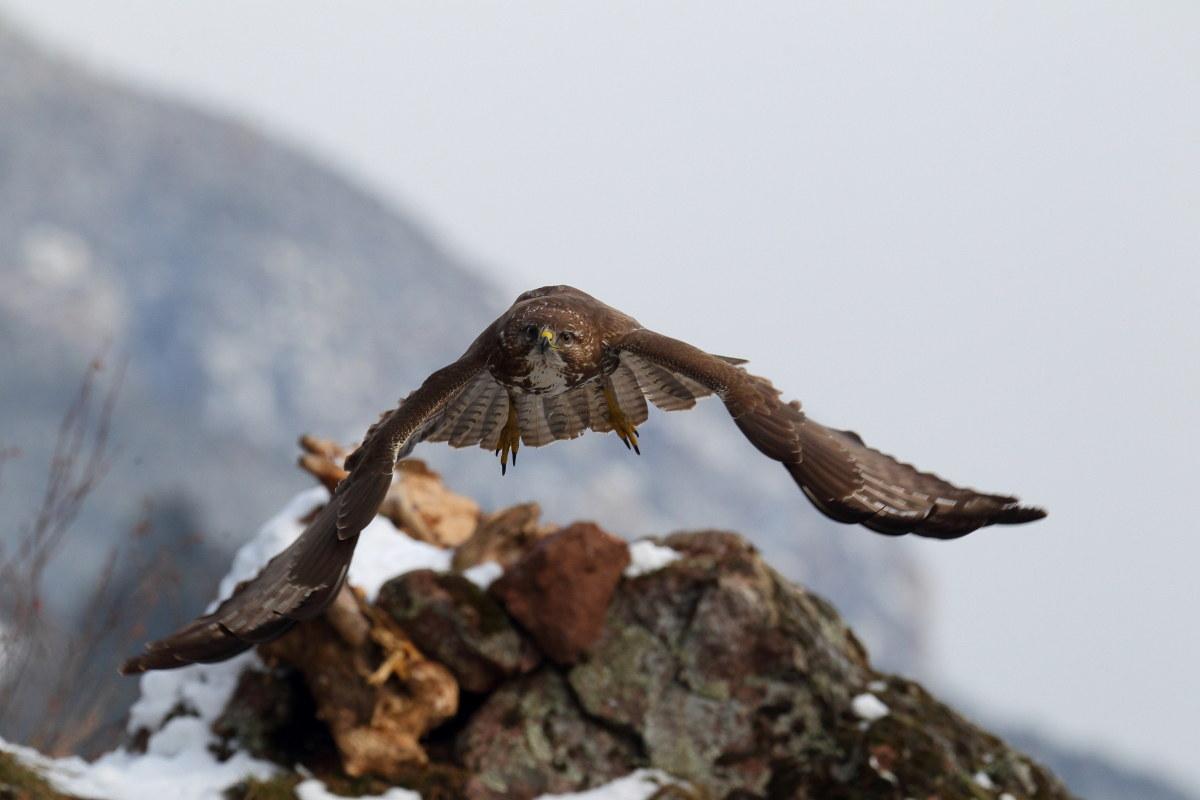 Enrico Delvai fotografo naturalista, foto di rapaci