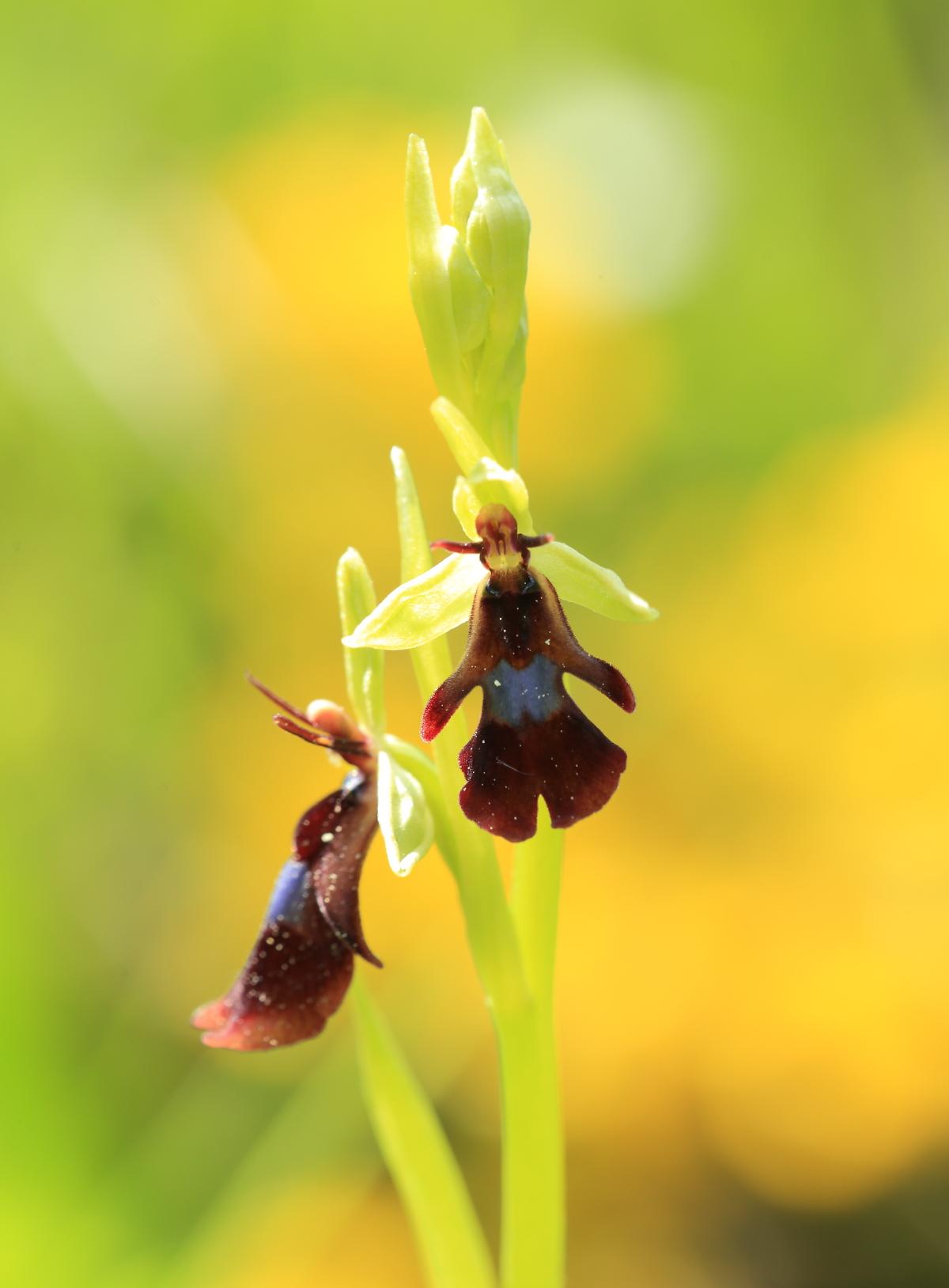 delvai flora
