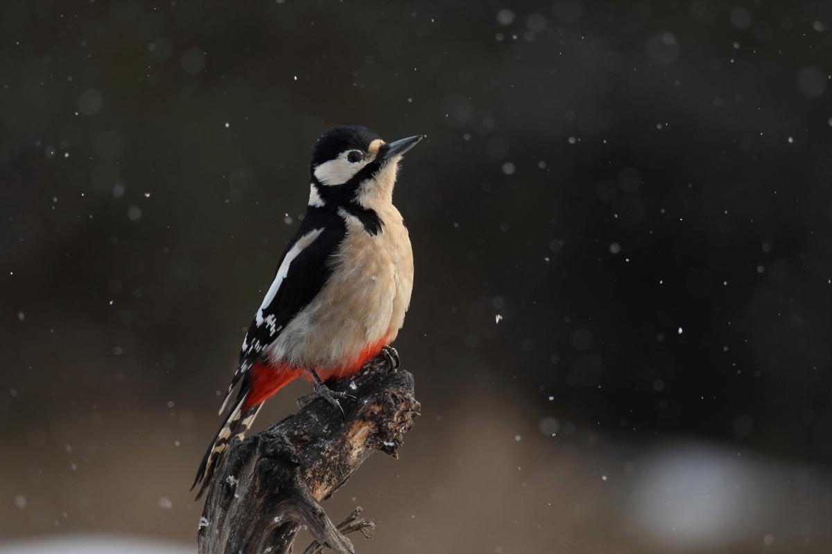 picchio rosso maggiore e nevicata
