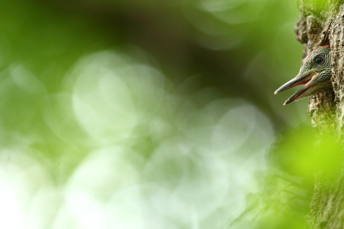 piccolo di picchio verde