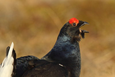 Il soffio del gallo forcello