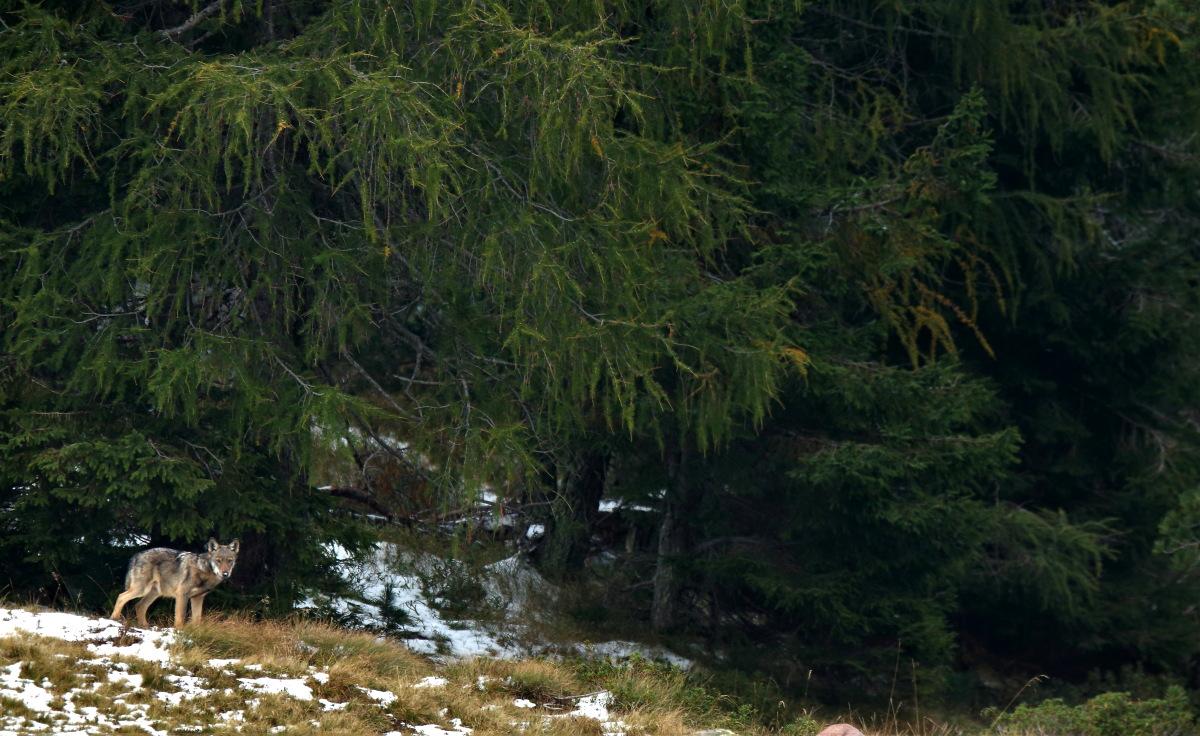 lupo e foresta