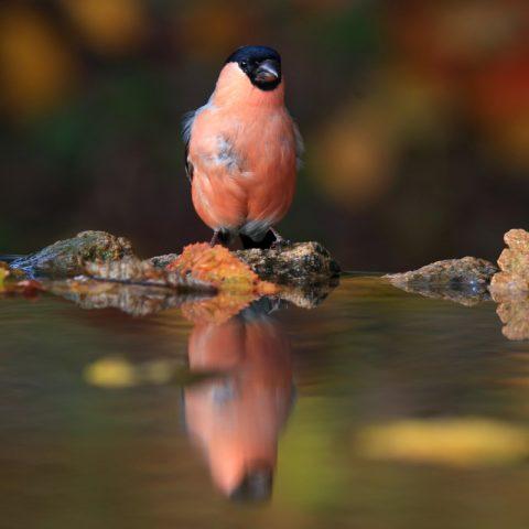L'autunno dei ciuffolotti